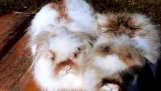 Декоративные кролики породы пекинес из Долины Ветров