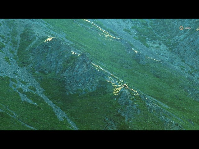 PUTV VISUALS // Grizzly Bear Denali National Park Alaska 4K