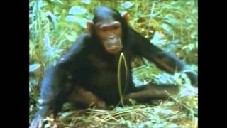 People of the Forest Chimps of Gombe
