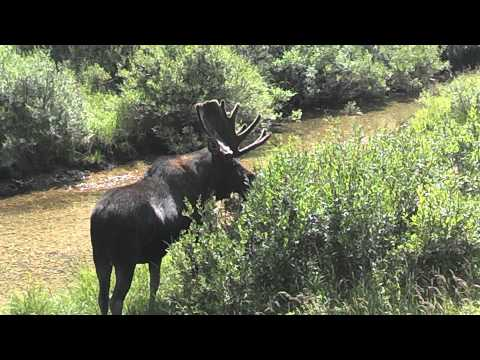 Yellowstone Tetons bull moose...