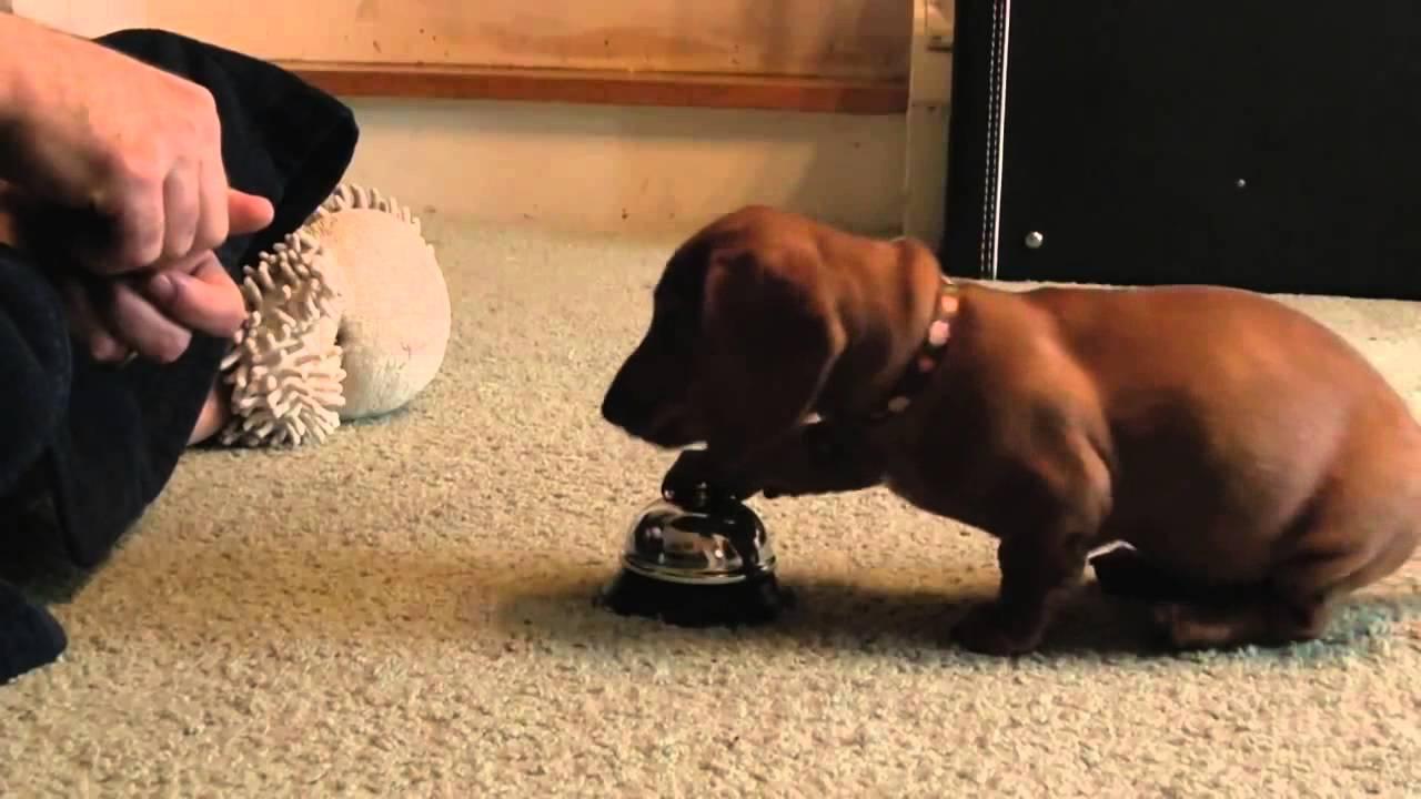Vídeo De Como Entrenar A Tu Cachorro Al Momento De Comer 24 10 2014 Youtube