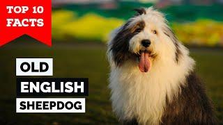 Old English Sheepdog  Top 10 Facts