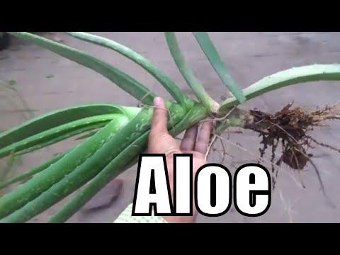 How to Take Care of a Aloe Vera Plant | Large Aloe Vera Plant | Plant Ko Repot Kese Kia Jay | Part-2