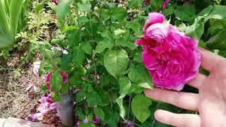 Розовые комнаты в саду. Розовый лабиринт. Плетистые Перпетуалли йорс, Жасмина, Ютерзен Клеттенрозе