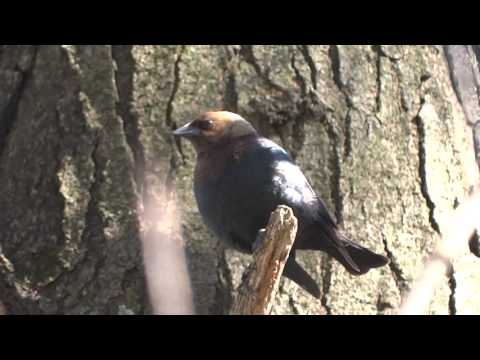 Brown-Headed Cowbird Song
