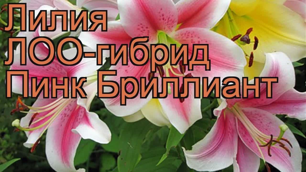 лилия пинк бриллиант фото и описание