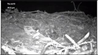 Osprey Chick - Lil Nel - Strong Will to Survive - 930 pm - July 3 2014
