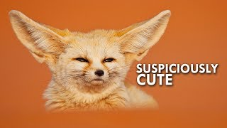 fennec-foxes-are-all-ears