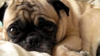 Pug Face In Hd