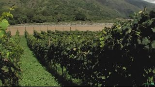 Producing Wine at Cauca River Shores in Colombia - TvAgro by Juan Gonzalo Angel