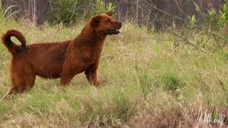 Wild, Hyena-Like Dogs Need Help Too | Pit Bulls and Parolees