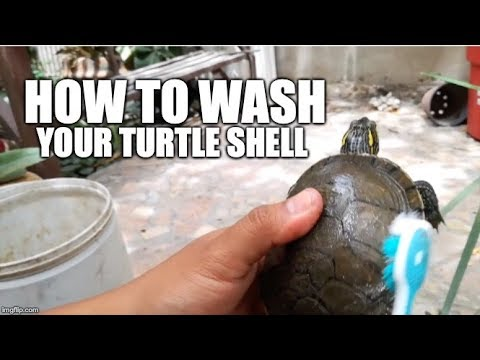 How to wash your turtle shell