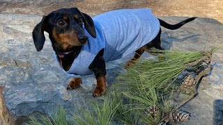 A day in my life a miniature dachshund first visit to dog park