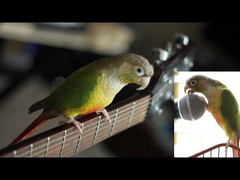 Rock N Roll Green Cheek Conure Parrot #TalkingPetChallenge