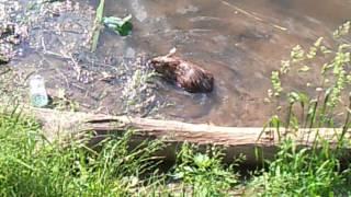 водяная крыса в Балашихинской Пехорке