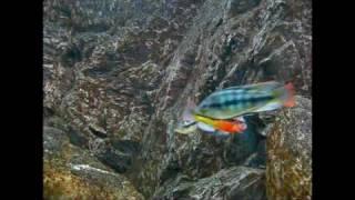 "Paralabidochromis sp. ""Ro…"