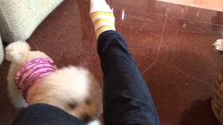 Mia the Toy Poodle - Jumping Trick