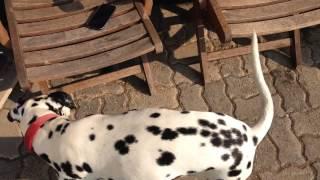 Laska Corgi Cardigan Black Color Plays With Dalmatian