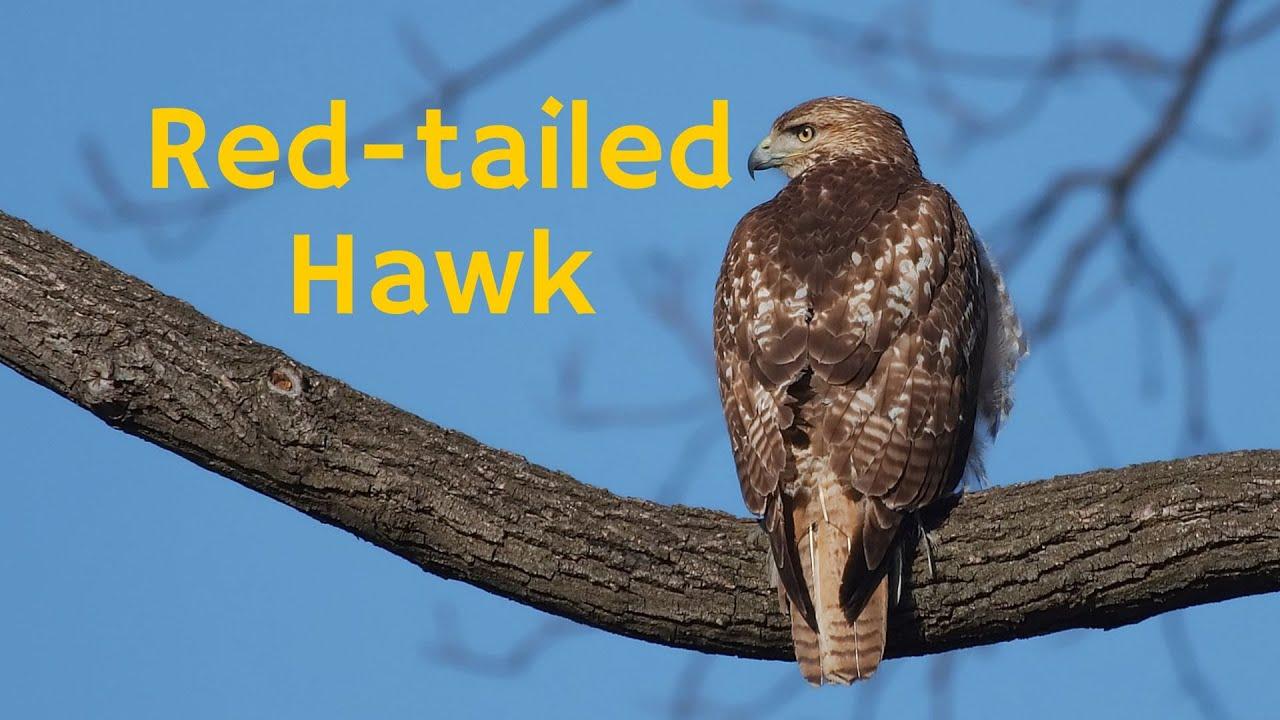 Red Tailed Hawk A Fierce Bird Of Prey Hunter