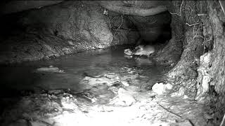 mouse thinking lobster dinner 042518 2006 cam2