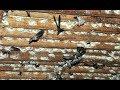 Inilah Cara Agar Burung Walet Cepat Membuat Sarang