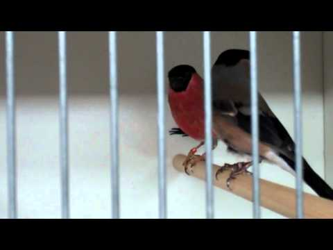 Bullfinches - Clipsley Pets & Aquatics