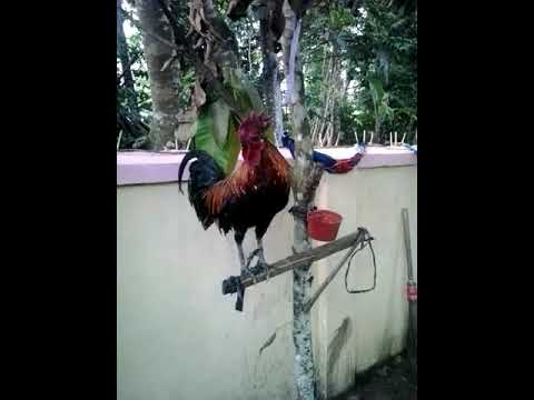 Ayam Ketawa Type Disco Juara