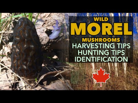 Mysterious MOREL Mushrooms - How & Where To Find And Harvest Black Morel Mushrooms