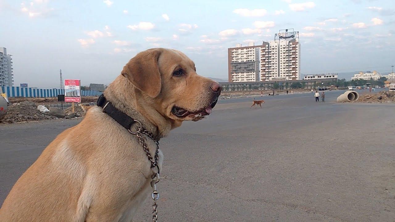 Labrador vs 12 Stray Dogs || INDIA