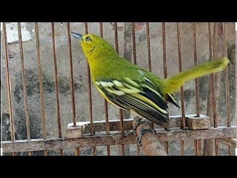 Suara Burung Cipoh Jantan