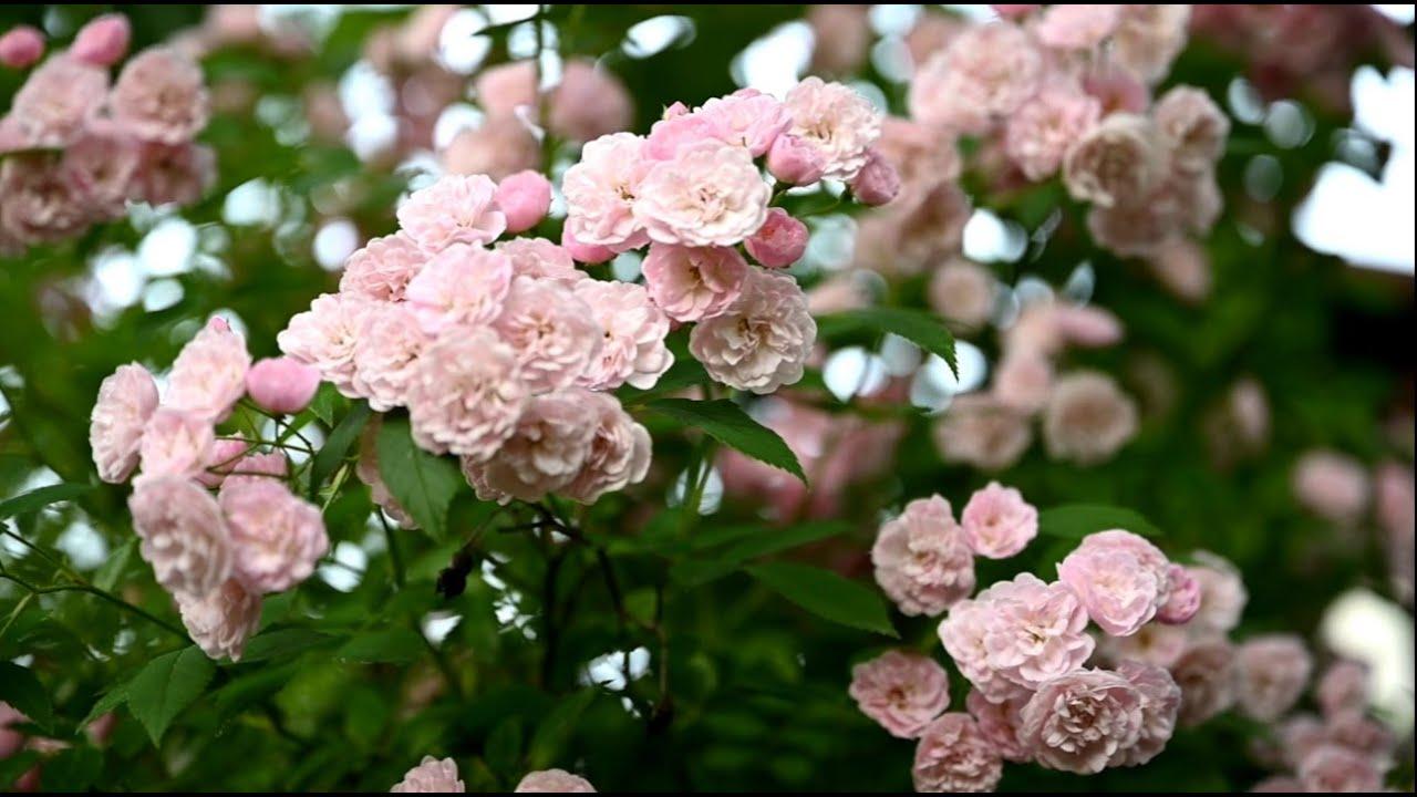 ТОП-10 моих любимых роз / Крапива от болезней и вредителей роз / Синие компаньоны к розам