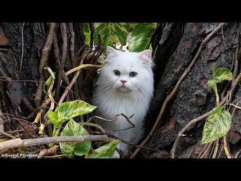 Beautiful White Persian Cat with Blue Eyes
