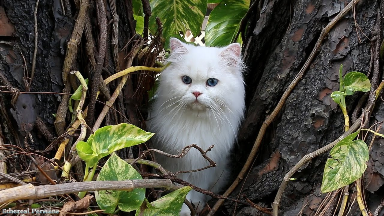 Beautiful White Persian Cat With Blue Eyes Youtube