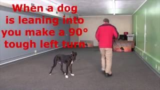 How to get a 5 month old Great Dane to stop pulling on the leash: Lexi's first lesson