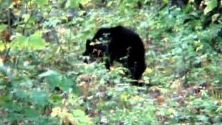 Momma bear and cubs Skyline Drive Blue Ridge Parkway Shenandoah National Park