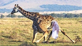 GIRAFFE GIVING BIRTH IN THE WILD   The Baby's First Steps To The World