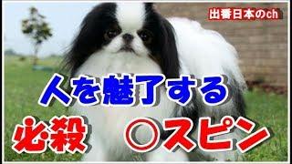 日本原産の犬『狆』が魅力的だと海外で話題だが、『狆』の意味が深かっ...