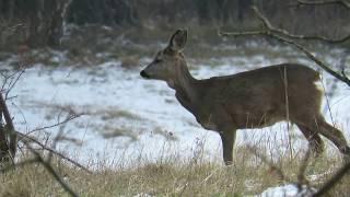 Zwierzęta Ucieczka koziołka sarny w zwolnionym tempie /Animals  Roe deer runs into the forest