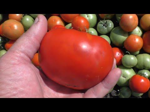 Спорный опыт при выращивании помидоров