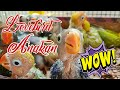 Wow Baby Lovebird Belajar Ngekek Lucu Parah Anakan Lovebird Ngekek Baby Lovebird Ngekek Ngetik  Mp3 - Mp4 Download
