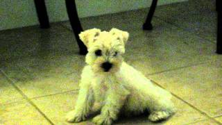 Akc Miniature Schnauzer Puppies For Sale In Willis, Tx