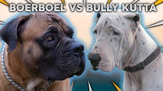 BOERBOEL vs BULLY KUTTA! The Best Mastiff Breed For First Time Owners!