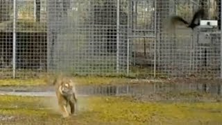 Tiger Chases Birds
