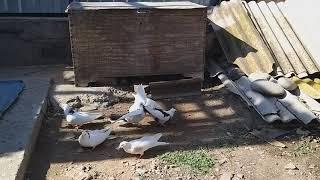 #pigeon.    Голуби  Джамгарян Миши в Астрахани