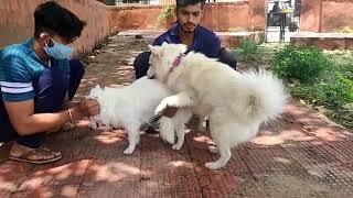 #Pomeranian dog mating in #Jaipur