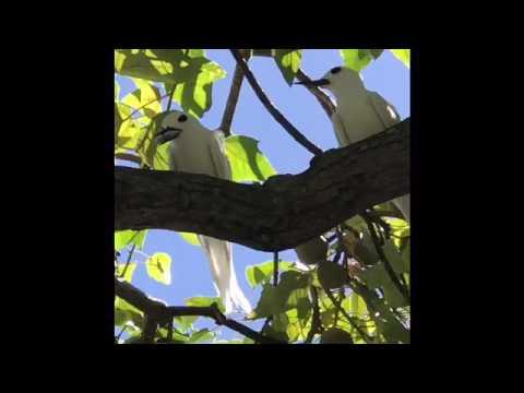 White Tern Courtship Behavior