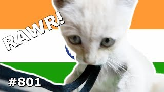 INDIAN TIGER IN BANGALORE DAY 801   TRAVEL VLOG IV