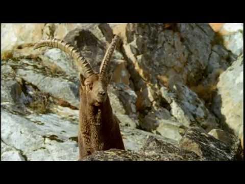 Le bouquetin - Parc de la Vanoise - Alpes françaises - haute surveillance