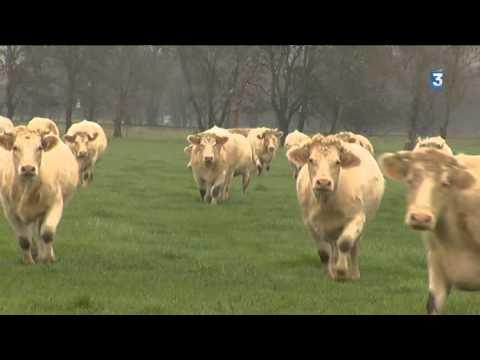 Angers : des cowboys pour rassembler les vaches façon Western sur ...