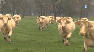 Angers : des cowboys pour rassembler les vaches façon Western sur l'Île Saint-Aubin